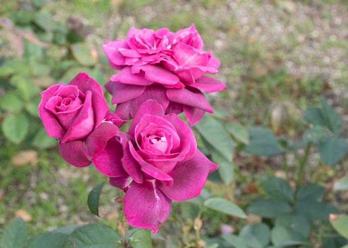 バラ(イントゥリーグ)の花。長居公園で撮影