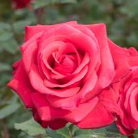 バラ(カーディナル)の花