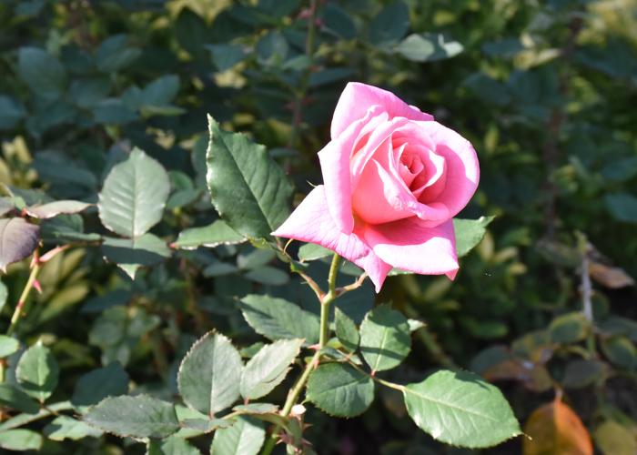 バラ(桃山)の花。花博記念公園鶴見緑地で撮影
