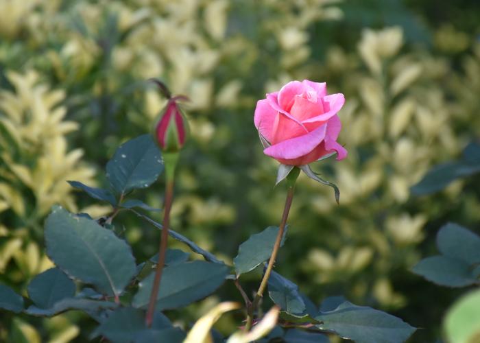 バラ(桃山)の開きかけの花とつぼみ。花博記念公園鶴見緑地で撮影