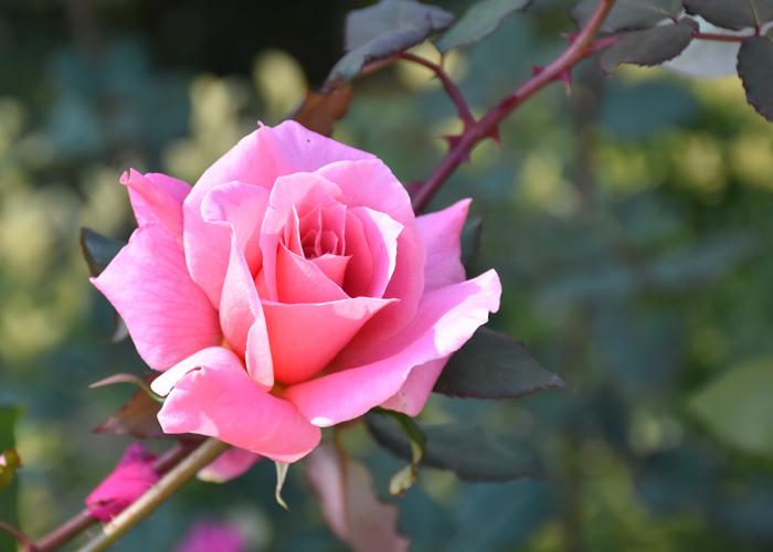 ピンク色のバラ(桃山)の花のアップ。花博記念公園鶴見緑地で撮影