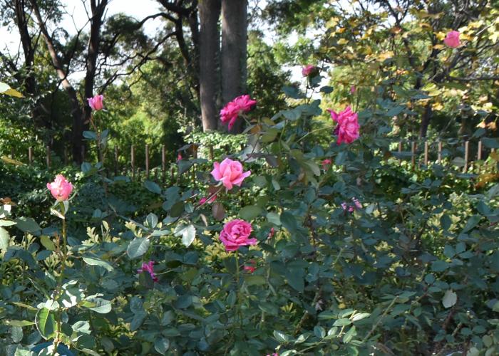 バラ(桃山)の花が咲いている風景。花博記念公園鶴見緑地で撮影