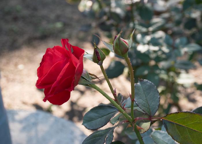 バラ(オリンピック・ファイヤー)の花の横顔とつぼみ。花博記念公園鶴見緑地で撮影
