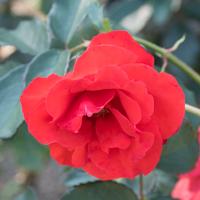 バラ(オリンピック・ファイヤー)の花
