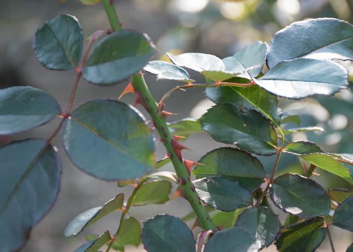 バラ(オリンピック・ファイヤー)の枝とトゲと葉のアップ。花博記念公園鶴見緑地で撮影