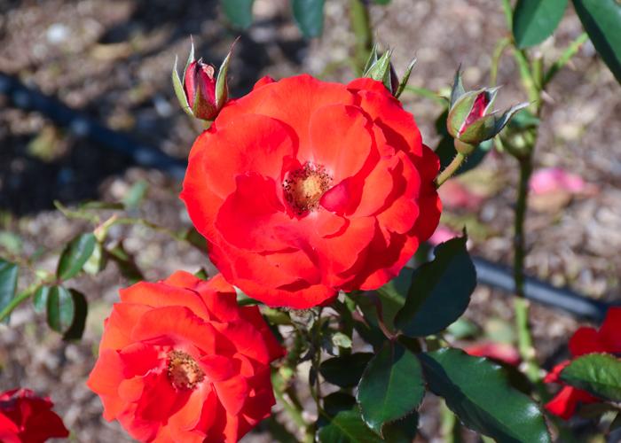 バラ(オリンピック・ファイヤー)の花の正面。荒巻バラ公園で撮影
