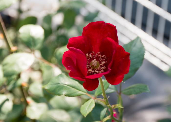 バラ(ベスビアス)の花。花博記念公園鶴見緑地で撮影