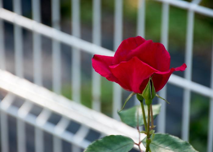 横から見たバラ(ベスビアス)の花。花博記念公園鶴見緑地で撮影