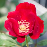 バラ(ベスビアス/ヴェスヴィアス)の花