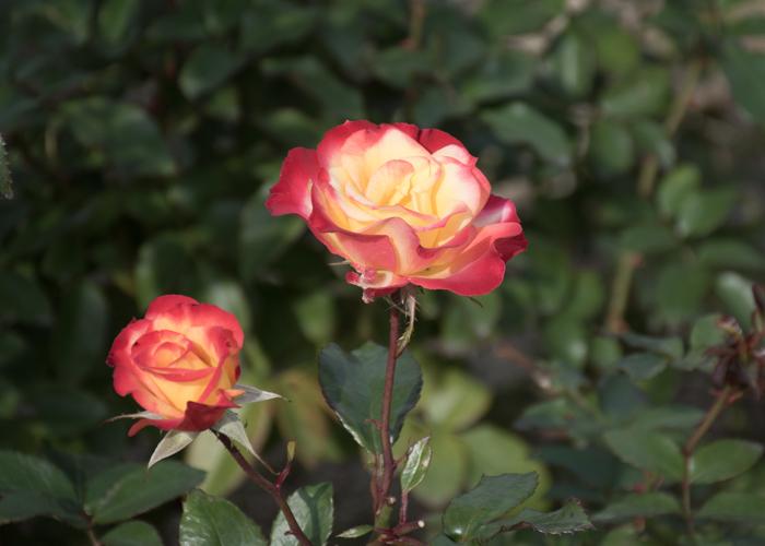 バラ(チャールストン)の花。長居植物園で撮影