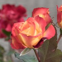 バラ(チャールストン)の花