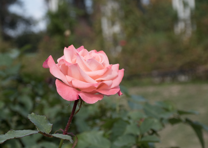 バラ(チェリッシュ)の花の横顔。長居植物園で撮影