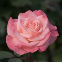 バラ(チェリッシュ)の花
