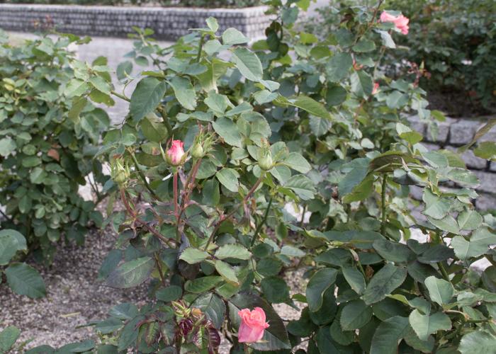 バラ(チェリッシュ)の木全体。長居植物園で撮影
