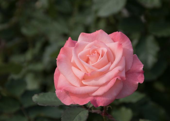 バラ(チェリッシュ)の花。長居植物園で撮影