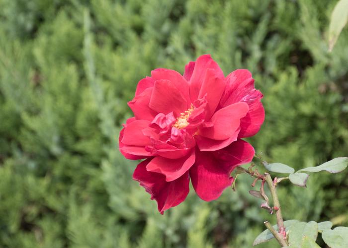 つるバラ(つるクリストファー・ストーン)の花。長居植物園で撮影