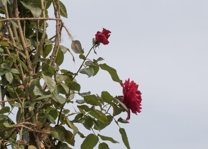 つるバラ(つるクリストファー・ストーン)の花の横顔。長居植物園で撮影