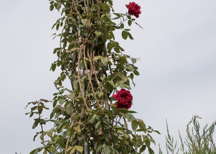 つるバラ(つるクリストファー・ストーン)の木。長居植物園で撮影
