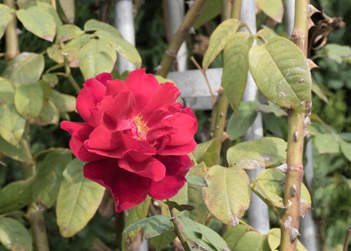 つるバラ(つるクリストファー・ストーン)の花のアップ。長居植物園で撮影
