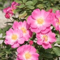 バラ(カウンティ・フェア)の花