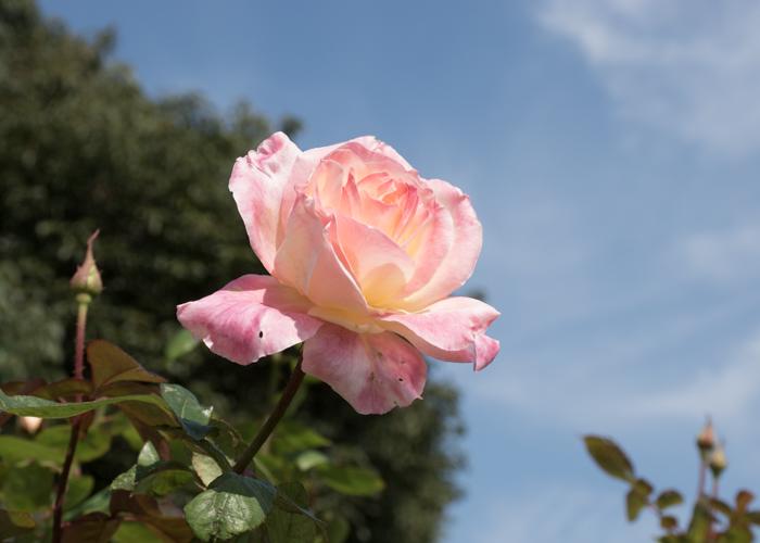 バラ(ダイアナ・プリンセス・オブ・ウェールズ)の花と青空。長居植物園で撮影