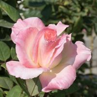 バラ(ダイアナ・プリンセス・オブ・ウェールズ/エレガント・レディ)の花