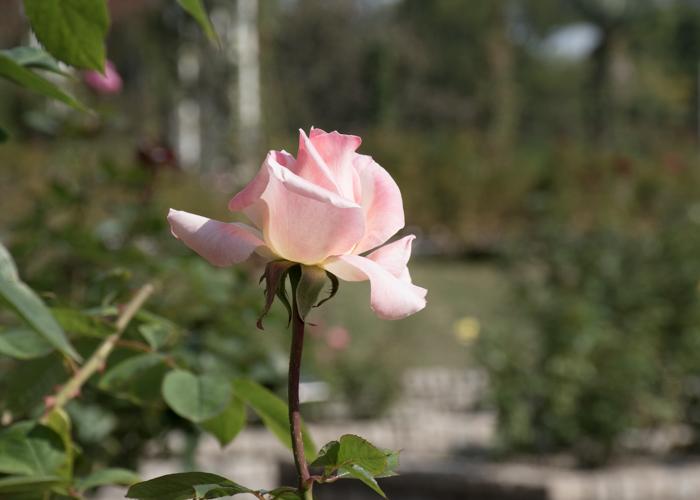 バラ(ダイアナ・プリンセス・オブ・ウェールズ)のつぼみ。長居植物園で撮影