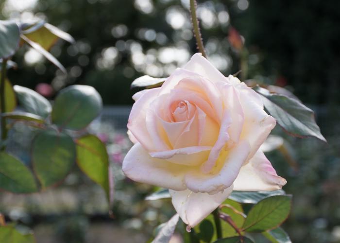 バラ(ダイアナ・プリンセス・オブ・ウェールズ)の花。花博記念公園鶴見緑地で撮影
