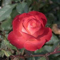 バラ(フリュイテ)の花