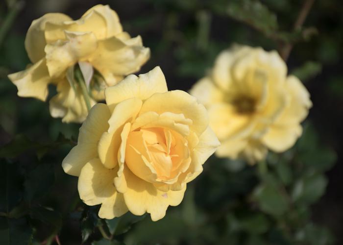 バラ(ゴールド・バニー)の花。花博記念公園鶴見緑地で撮影