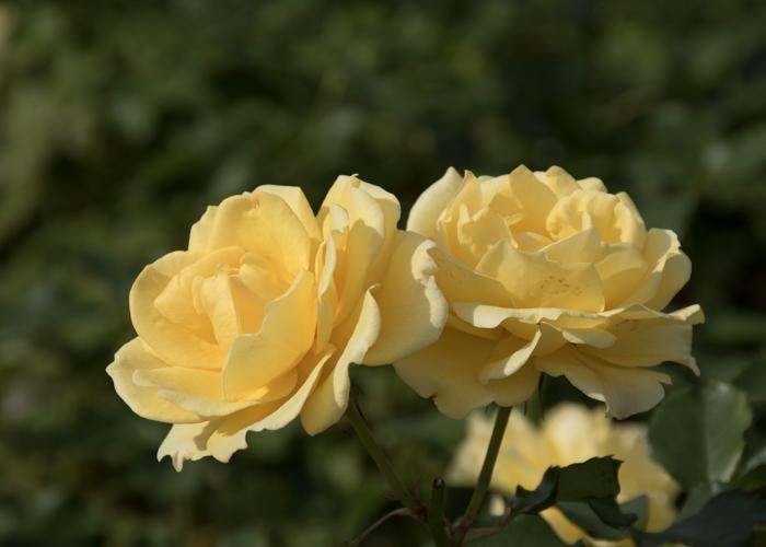バラ(ゴールド・バニー)の花の横顔。長居植物園で撮影