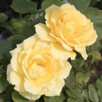 バラ(ゴールド・バニー)の花