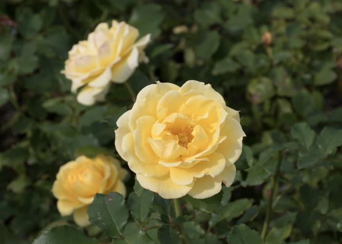 バラ(ゴールド・バニー)の花。長居植物園で撮影