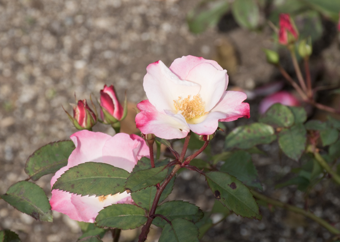 バラ(花霞)の花のアップ。長居植物園で撮影