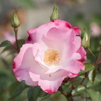 バラ(花霞)の花