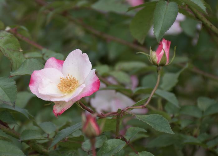 バラ(花霞)の花とつぼみ。長居植物園で撮影