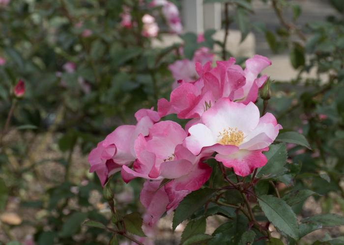 バラ(花霞)の花。長居植物園で撮影
