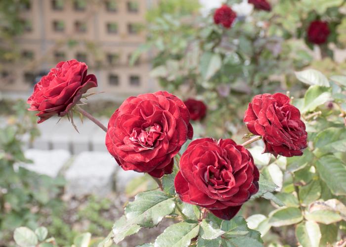 バラ(ラーヴァグルート/ラバグルト)の花。長居植物園で撮影