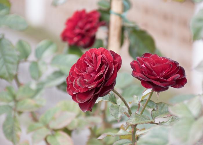 バラ(ラーヴァグルート/ラバグルト)の花の横顔。長居植物園で撮影