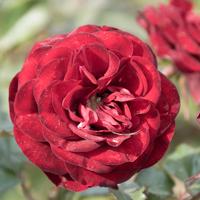 バラ(ラーヴァグルート/ラバグルト)の花