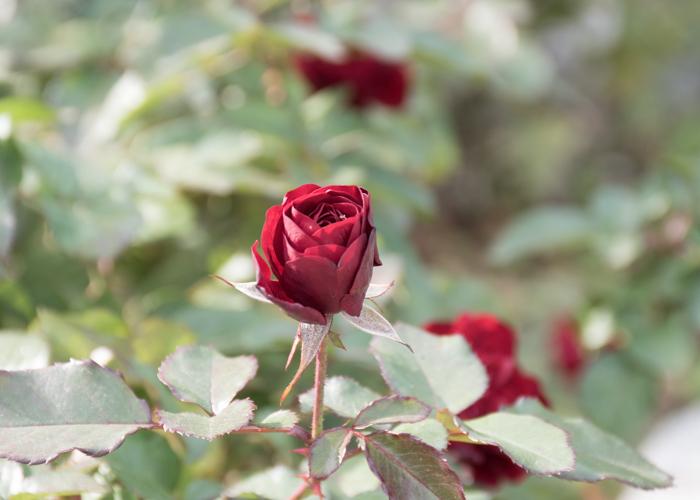 バラ(ラーヴァグルート/ラバグルト)のつぼみ。長居植物園で撮影