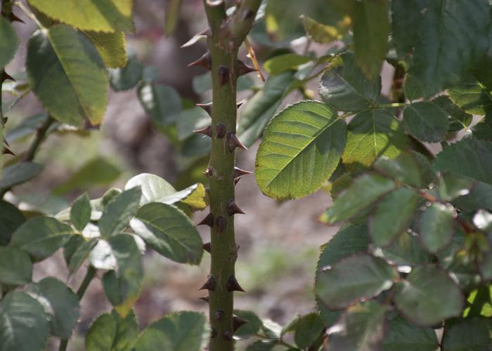 バラ(ラーヴァグルート/ラバグルト)の枝とトゲと葉。長居植物園で撮影