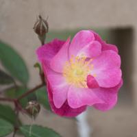 バラ(ラベンダー・ドリーム)の花