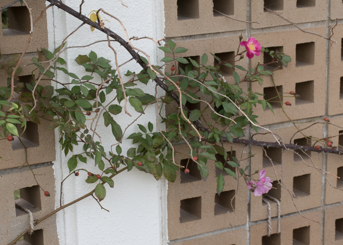 バラ(ラベンダー・ドリーム)の木全体。長居植物園で撮影