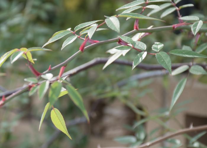 バラ(ラベンダー・ドリーム)の枝と葉。長居植物園で撮影