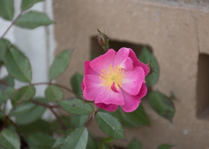 バラ(ラベンダー・ドリーム)の花。長居植物園で撮影
