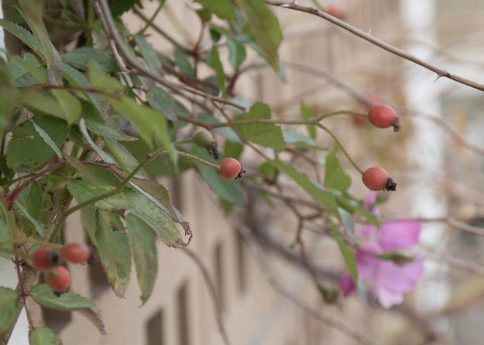 バラ(ラベンダー・ドリーム)の実。長居植物園で撮影