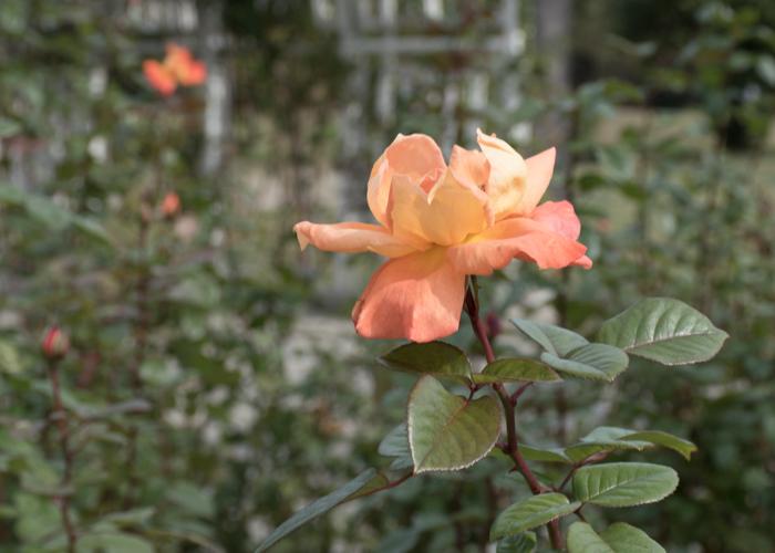 バラ(ルイ・ド・フュネス/ルイ・ドゥ・ヒューネ)の花の横顔。長居植物園で撮影
