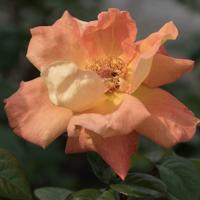 バラ( ルイ・ド・フュネス/ルイ・ドゥ・ヒューネ)の花