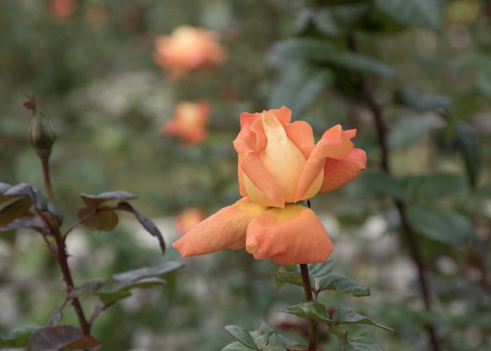 バラ(ルイ・ド・フュネス/ルイ・ドゥ・ヒューネ)のつぼみ。長居植物園で撮影